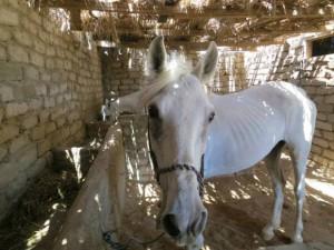 Dahab Horse rescue