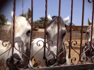 Horse Aid Dahab 1
