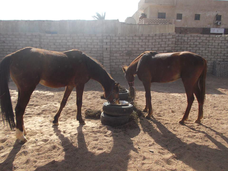 Horse Aid Dahab 2